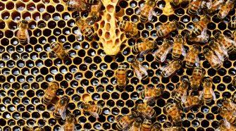 albinele - singurele insecte care produc hrană pentru om