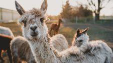 lucruri curioase mica alpaca